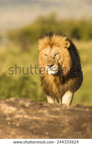 African Lion,  Panthera leo,  male, resting, Masai Mara Game Reserve, Kenya, East Africa - stock photo