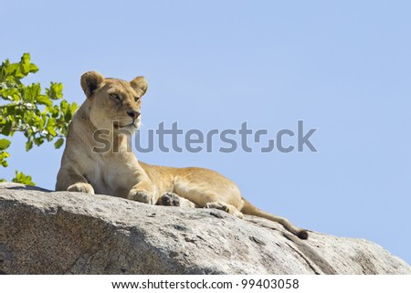 African Lion (Panthera leo) on top of a rock in Tanzania's Serengeti National Park - stock photo