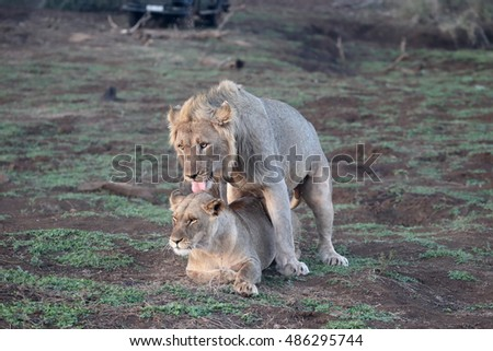 African lion, Panthera leo, pair mating South Africa, August 2016