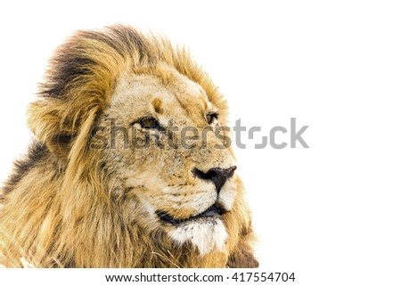 African lion portrait isolated in white background ; Specie Panthera leo family of felidae - stock photo