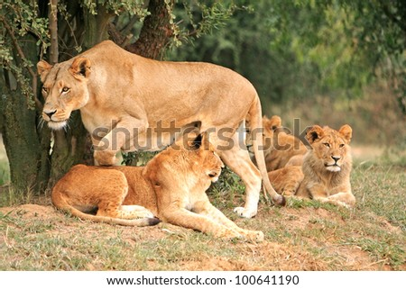 African lion pride - stock photo