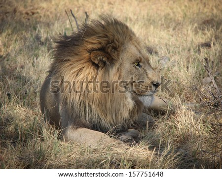African lion resting in Botswana - stock photo