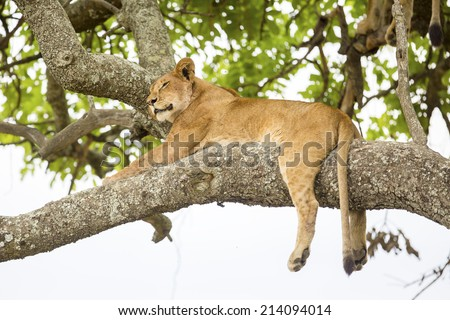 African lion rests in tree - stock photo