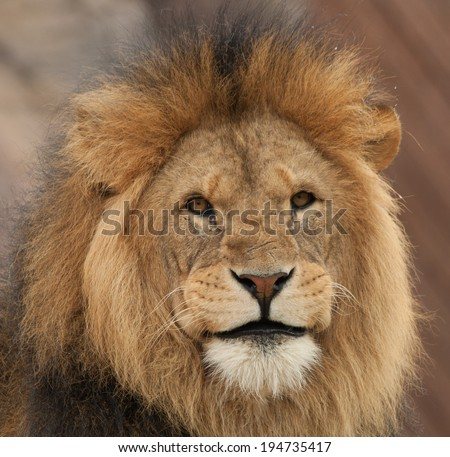 Smiling Lion | www.pixshark.com - Images Galleries With A ...