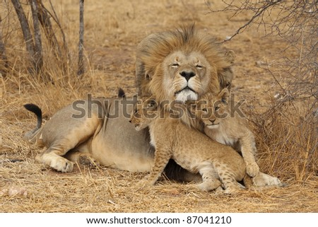 African Lion with cub - stock photo