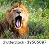 African Lion Yawning - stock photo