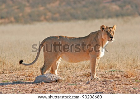 African lioness in desert in South Africa - stock photo