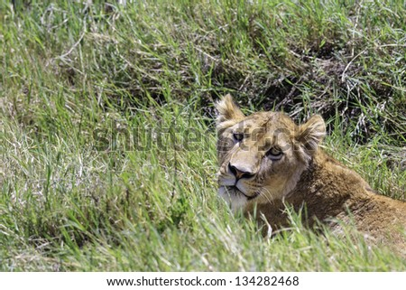 African lioness, panthera leo, lying in grass looking back over her shoulder at the camera in the Serengeti National Park, Tanzania