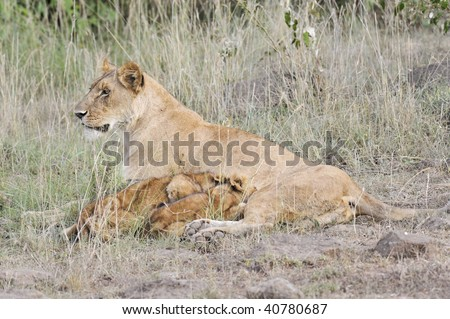 African lioness ( Panthera Leo) with her cubs - stock photo