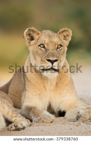 African Lioness portrait in the Kruger Park in South Africa - stock photo