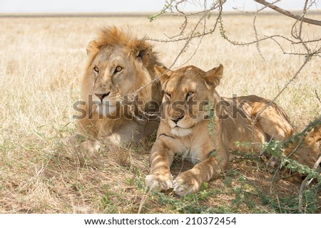 African lions in the wild - stock photo