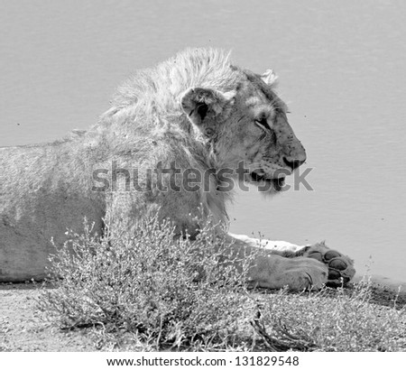African lions near watering hole in Serengeti National Park - Tanzania (black and white) - stock photo