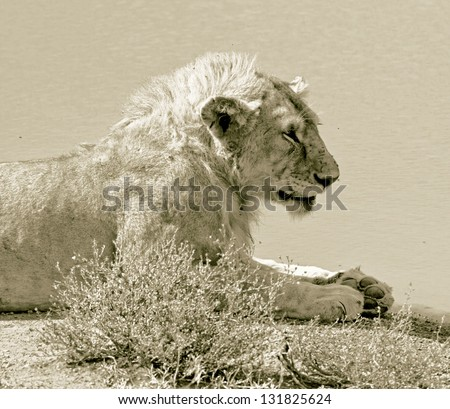 African lions near watering hole in Serengeti National Park - Tanzania (stylized retro) - stock photo