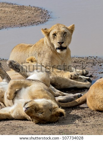 African lions near watering hole on Serengeti National Park - Tanzania, Africa - stock photo