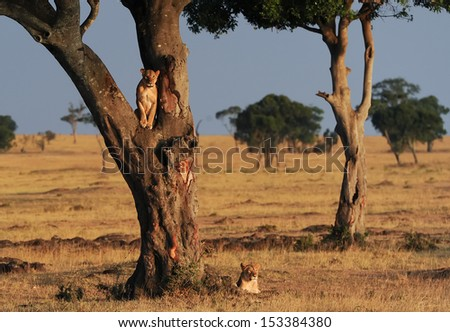 African Lions (Panthera leo) on the Masai Mara National Reserve safari in southwestern Kenya. - stock photo