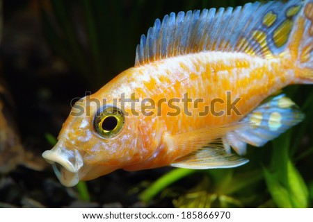 African Malawi Cichlid - stock photo