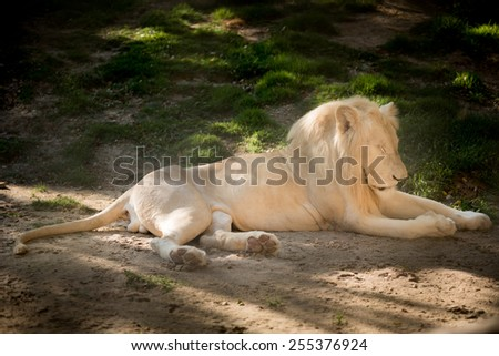 African male lion - stock photo