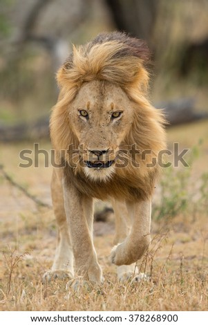 African male lion walking looking down in the Kruger Park South Africa