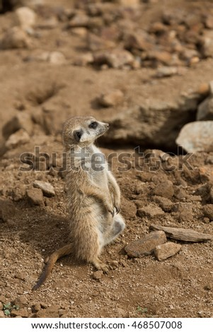 african mammal meerkat or suricate watching out for danger