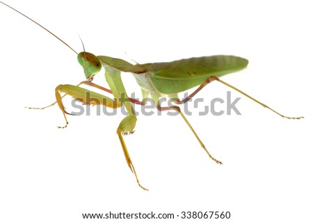 African mantis (Sphodromantis sp.) isolated on white. - stock photo