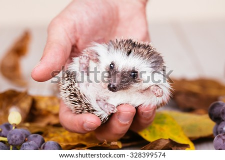 African miniature hedgehog baby in human hand. Selective focus. - stock photo