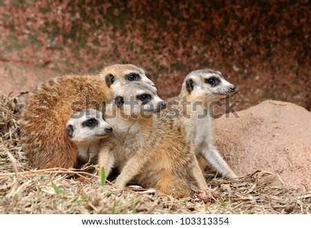 African mongoose in team