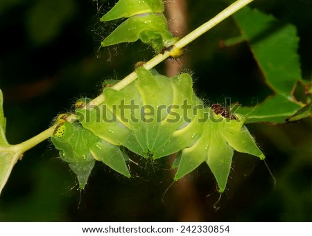 African Moon Moth, Argema mimosae butterfly caterpillars - rarely seen nocturnal moon moth related the North American Luna Moth - stock photo