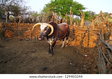 African Nguni bull at the Great Kraal in Zululand, South Africa. The bare-handed killing of a bull by Zulu warriors is part of an annual ceremony in South Africa - stock photo
