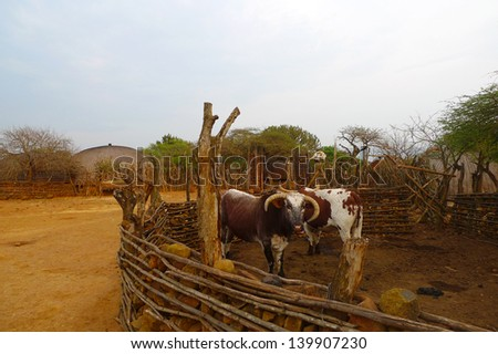 African Nguni bulls at the Great Kraal in Zululand, South Africa. The bare-handed killing of a bull by Zulu warriors is part of an annual ceremony in South Africa - stock photo