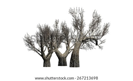 African Olive tree winter - isolated on white background