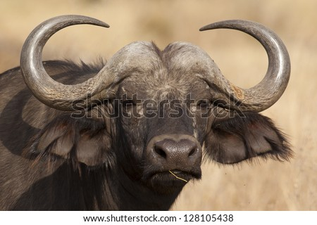 African or Cape buffalo, Serengeti National Park - stock photo