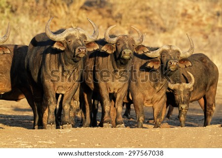 African or Cape buffaloes (Syncerus caffer), South Africa - stock photo