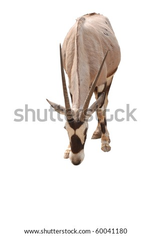 African oryx gemsbok, isolated on a white background - stock photo
