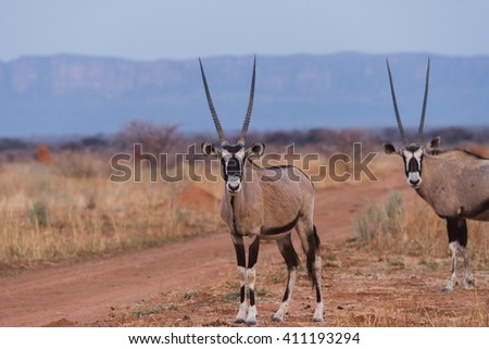 African Oryx (Oryx gazella) standing near dirt farm road in front of Waterberg Plateau in background, Namibia - stock photo