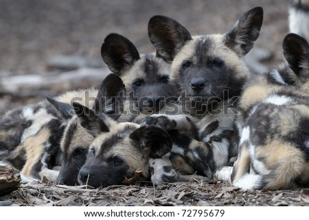 African painted wild dog puppies (Lycaon pictus) - stock photo