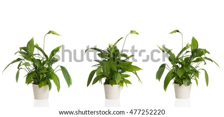 African Peace Lilies from three different angles in white plant pots
