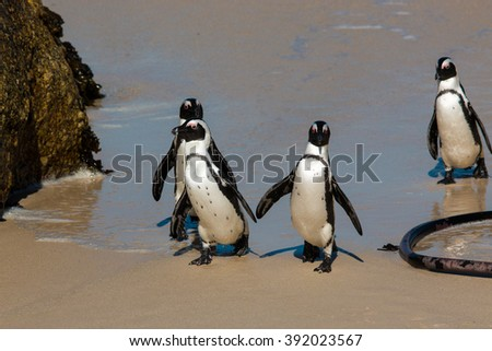 african penguin colony boder town beach head south africa