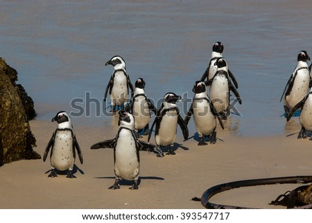 african penguin colony bolder beach simon's town cape town south africa