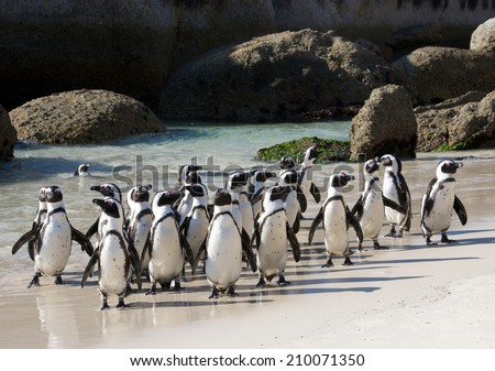 African penguin crowd - stock photo