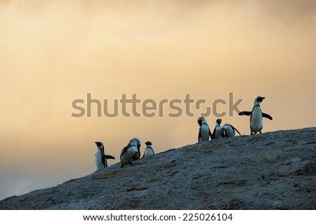African penguin in twilights. African Penguin (spheniscus demersus) , National Park, Boulders, South Africa   - stock photo