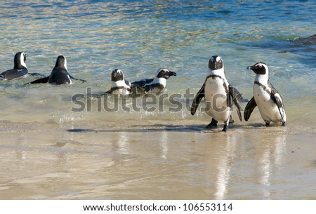 African penguin Pairs - stock photo