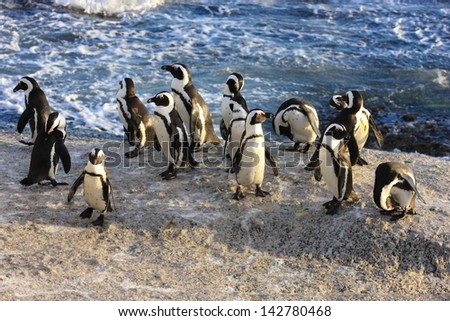 African penguin rare seabird colony bolder beach cape town south africa national park Cape of Good Hope - stock photo