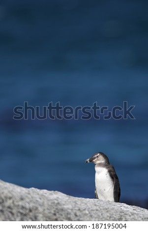 African Penguin (Spheniscus demersus) at Boulders Beach near Simons Town on the Cape Peninsula, South Africa, where you can find one of the few colonies of African Penguins on the African mainland. - stock photo