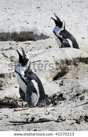 African Penguin Spheniscus demersus at Boulders Beach, Simonstown, Cape Town, Western Cape, South Africa