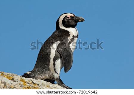 African penguin (Spheniscus demersus), Boulders beach, South Africa