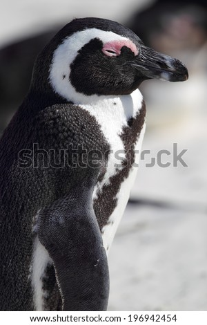 African Penguin (Spheniscus demersus) on Boulders Beach near Cape Town, South Africa.