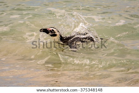african penguin swimming to the shore