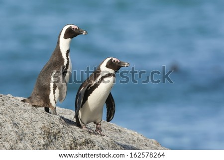 African Penguin -  Table Mountain National Park - Boulders - South Africa