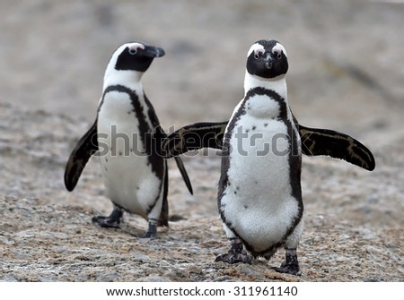 African penguins. African penguin (spheniscus demersus), also known as the jackass penguin and black-footed penguin is a species of penguin Boulders colony in Cape Town,South Africa - stock photo