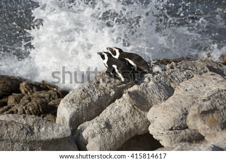 AFRICAN PENGUINS AT BETTY'S BAY WESTERN CAPE SOUTH AFRICA - APRIL 2016 -  African penguins which is also called a Jackass Penguin ashore at Betty's Bay in the Western Cape South Africa